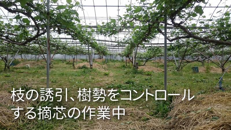 枝の誘引、樹勢をコントロール する摘芯の作業中
