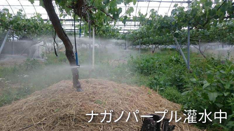 ナガノパープル灌水中