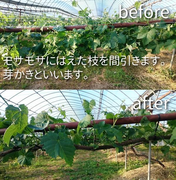 モサモサにはえた枝を間引きます。この作業は農業用語で芽かきといいます