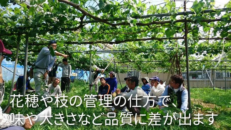 花穂や枝の管理の仕方で、 味や大きさなど品質に差が出ます