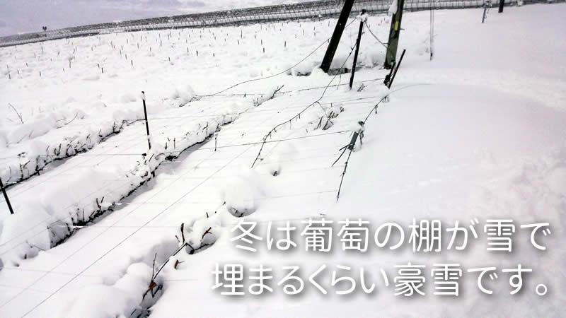 冬は葡萄の棚が雪で 埋まるくらい豪雪です。