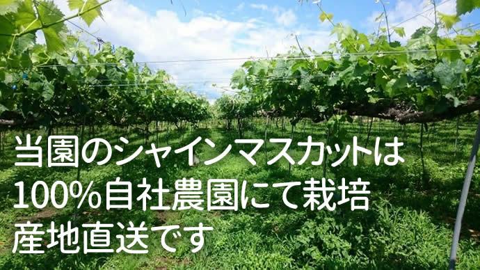 当園のシャインマスカットは 100%自社農園にて栽培 産地直送です